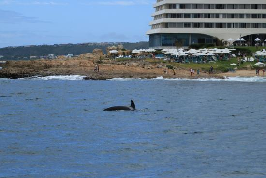 Ocean Safaris: Orca whale spotted near central beach