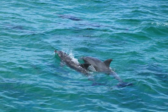 Ocean Safaris: Over 50+ dolphins were spotted during the tour