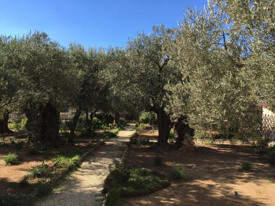 Trees in the Garden of Gethsemane Picture of Garden of
