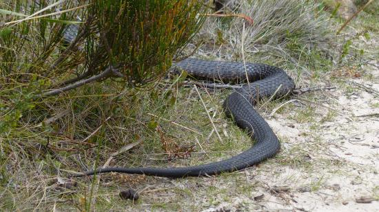 South Bruny National Park: On the track slithering away on Cloudy Bay hike (believed to be a tiger snake)