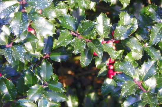 Boylston, MA: Holly