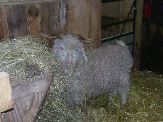 Kington, UK: Sheep