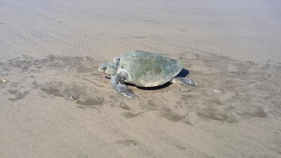 Tola, Nicaragua: Tortuga marina