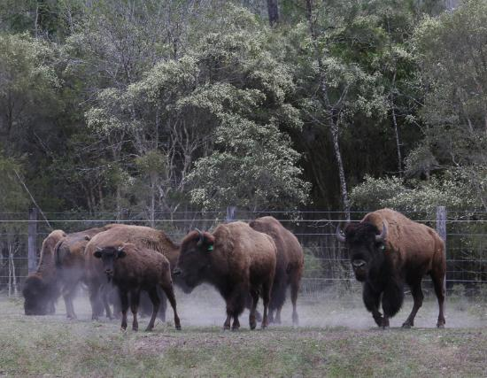 Myrtle Creek, Australia: American Bison at Aranyani Bison Adventure Tourist Park