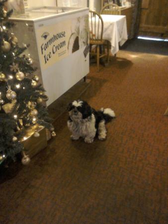 Longhope, UK: Oscar, the Tearoom. Dog, admiring the Christmas tree