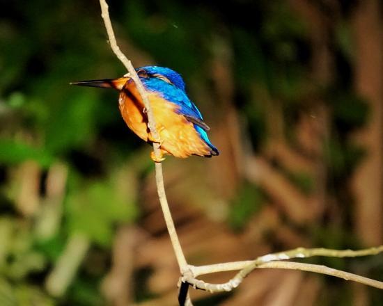 Sandakan Division, มาเลเซีย: Kingfisher