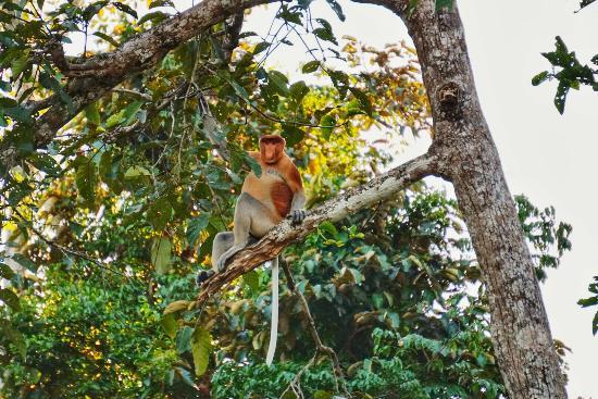 Sandakan Division, มาเลเซีย: Male proboscis monkey - they make the funniest honking sounds!