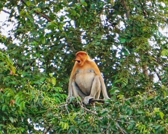 Sandakan Division, มาเลเซีย: Female proboscis monkey