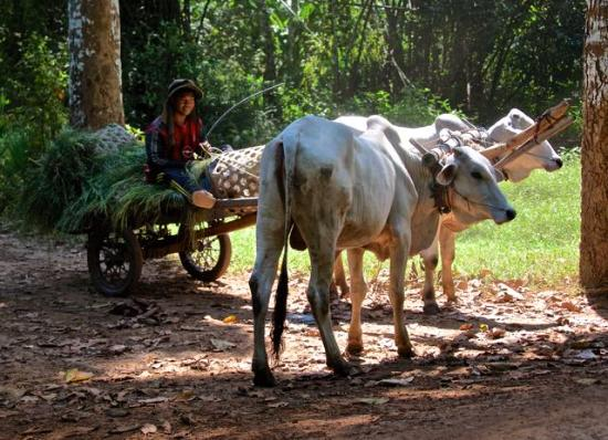 Cambodian Pride Tours - Day Tours : Ox cart