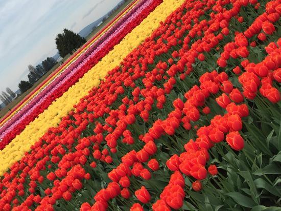 skagit valley tulip festival picture of tulip town mount vernon rh tripadvisor com