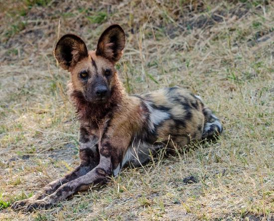 Linyanti Reserve, Botswana: Wild (Painted) African dog