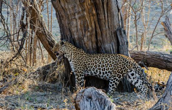 Linyanti Reserve, Botswana: Female leopard
