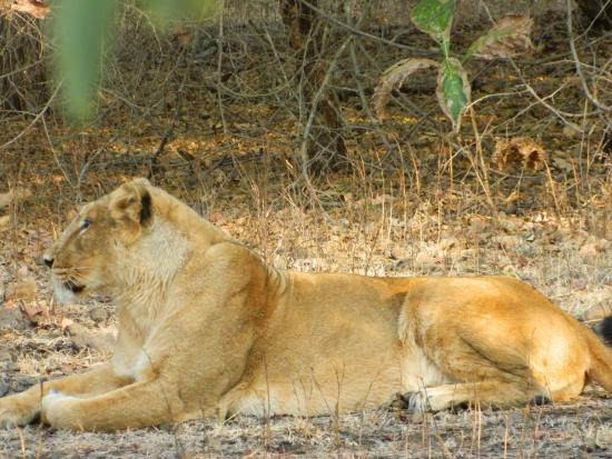 gir national park and sanctuary The gir forest national park and wildlife sanctuary in gujarat celebrated 50 years of its existence the sanctuary is home to asiatic lions and occupies an.