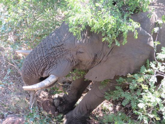 Tshwene Lodge: Elephant Bull at Main Lodge