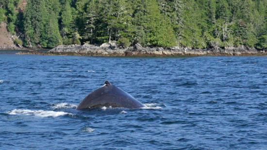 Heriot Bay, Kanada: whales