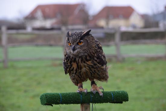 Paddock Wood, UK: Owl