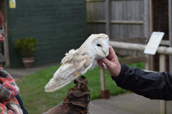 Paddock Wood, UK: Rescued Owl