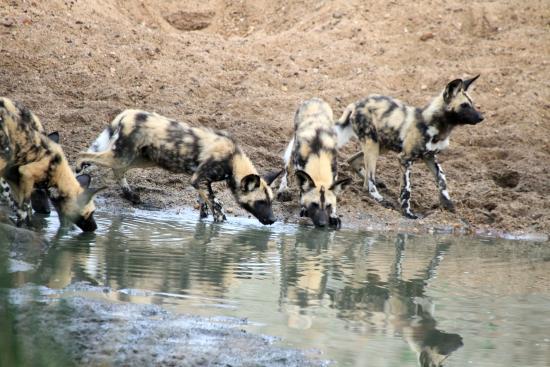 Simbavati River Lodge: Wilde Hunde