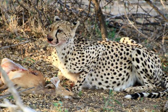 Simbavati River Lodge: Gepard mit jungem Buschbock
