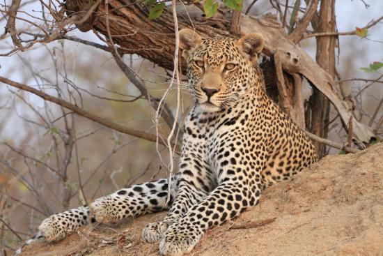 Simbavati River Lodge: Leopard
