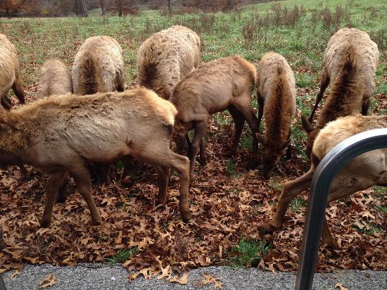 Lampe, MO: Young elk