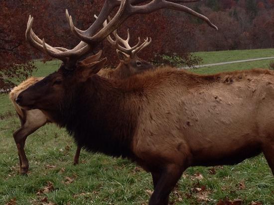 Lampe, MO: Large elk.