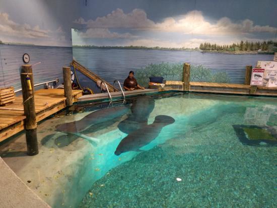 Bradenton, FL: Manatees