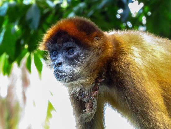 Lake Nicaragua, Nicaragua: monkey
