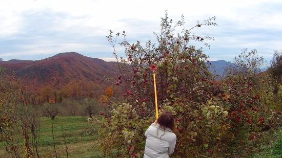 Spruce Pine, North Carolina: Late season apple picking!