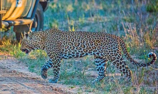 Imbali Safari Lodge: Game Drive - Leopard