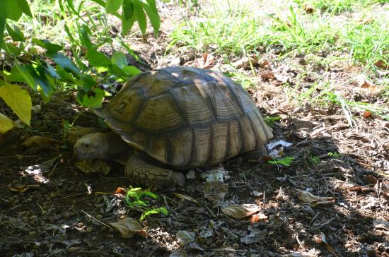 Kalaheo, Χαβάη: A tortoise