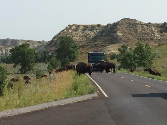Theodore Roosevelt National Park: bison crossing - South Unit
