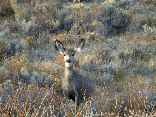 Electric City, WA: Curious mule deer doe