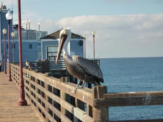 ‪‪Southern California Beach Club‬: Pelican on the pier‬