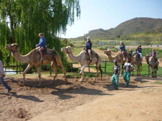 Wilgewandel Holiday Farm: camelrides