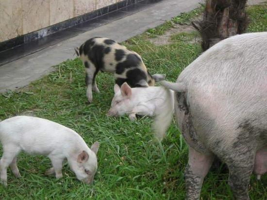 """POTI'S FAMOUS """"YORKSHIRE"""" PIGS ROAMING FREE"""
