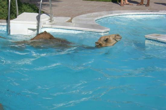 Camel in the swimming pool in dahab picture of - Camel dive hotel ...