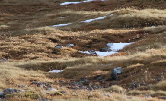 Aviemore, UK: the mythical ptarmigan