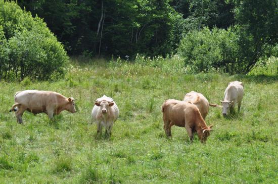 Sieksate, Lettland: Наверное, те самые коровы, чьё молоко ......