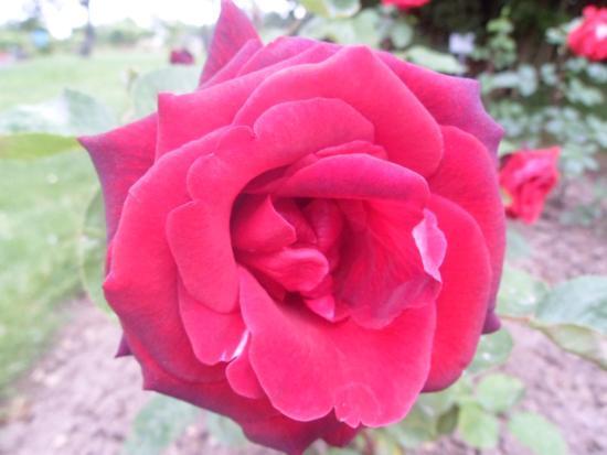 Europa Rosarium
