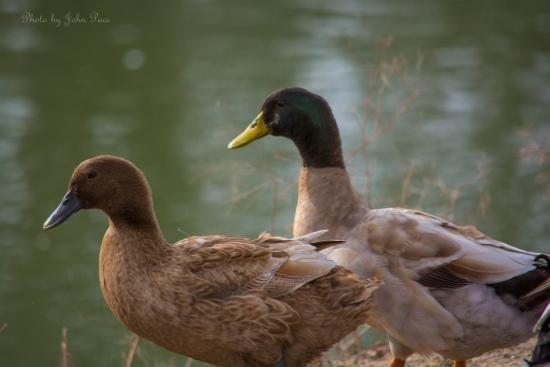 Ducks At River Road Park