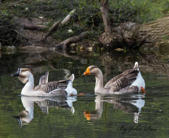 Geese at River Road Park