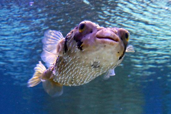 Puffer fish picture of the florida aquarium tampa for How much is a puffer fish