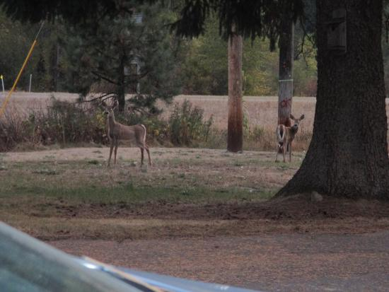 Little River Motel: deer that are so captivating