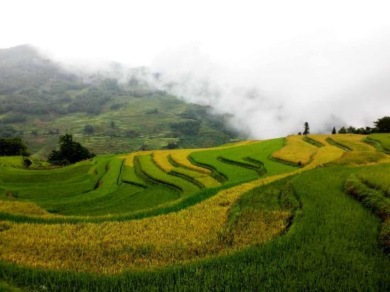 Timeless Hostel Yuanyang: fall rice field九月梯田