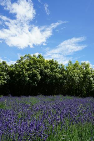 Lavendyl Lavender Farm : DSC02790_large.jpg