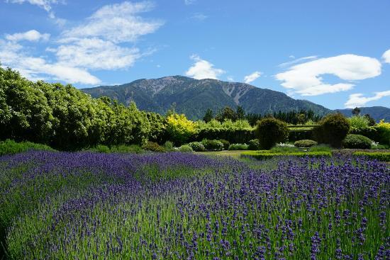 Lavendyl Lavender Farm : DSC02784_large.jpg