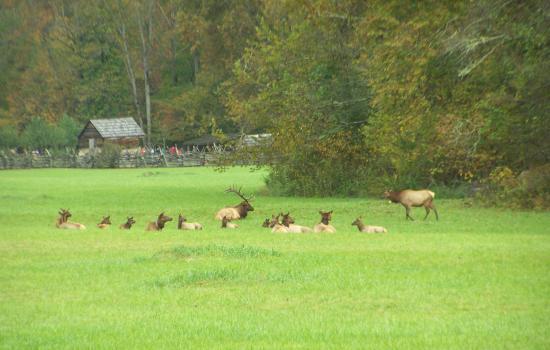 Elk at the Oconaluftee Visitor Center