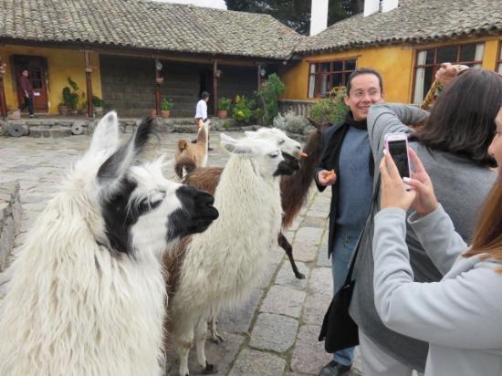 Hacienda San Agustin De Callo: The hacienda has  a group of Llama that come into the courtyard to greet you!