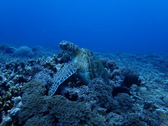 Turtle foto di manta dive gili trawangan tripadvisor - Manta dive gili ...